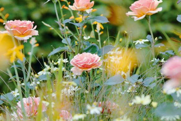 Gartenbuch Rosen