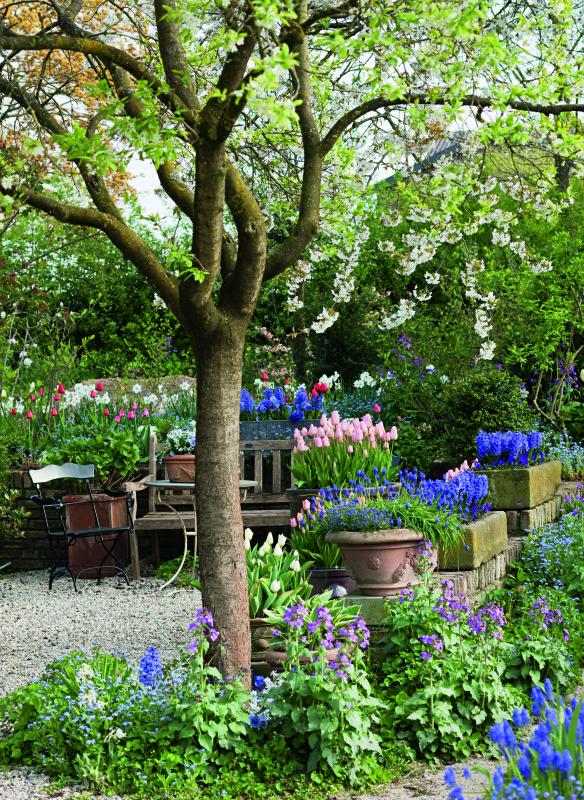 Zwiebelblumen in Töpfen unter Zierkirsche (Tulipa 'Apricot Beau