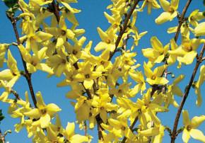 Gelbe Sträucher im Garten