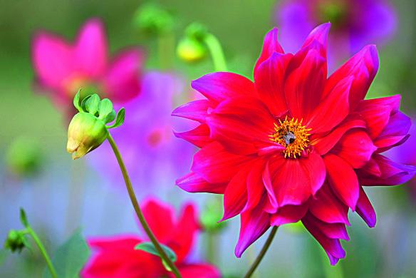 Durch Aussaat entstandene einfache Dahlie (Dahlia Hybride) Ideen für den Garten