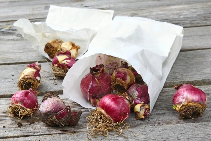 Hyacinthen Zwiebeln in Papiertasche