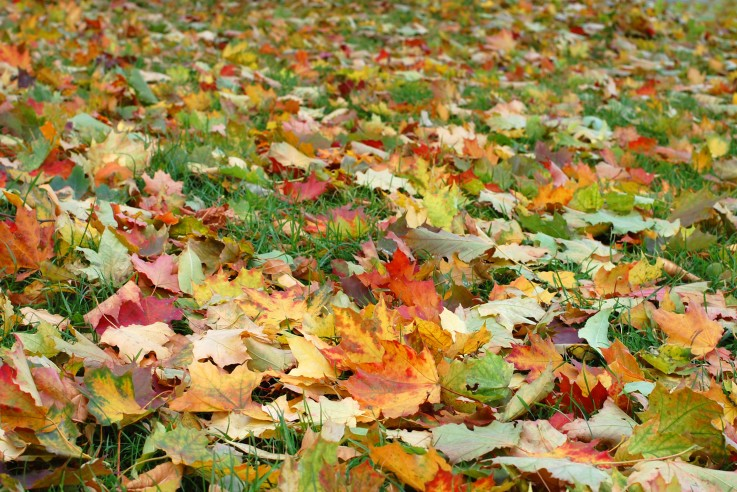Autumn leaves on a green grass