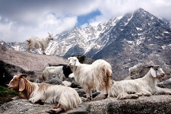 Cashmere Ziegen in den Bergen