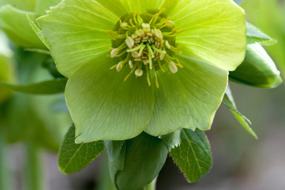 Lenzrose Blüte Garten Hasselhorst