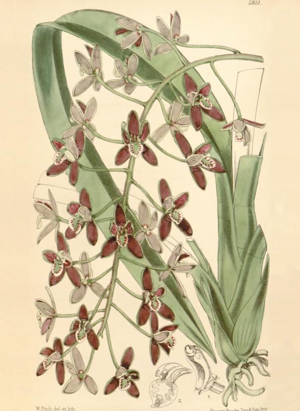 Orchideen Tafel Walter Fitch Curtis Botanical Magazine