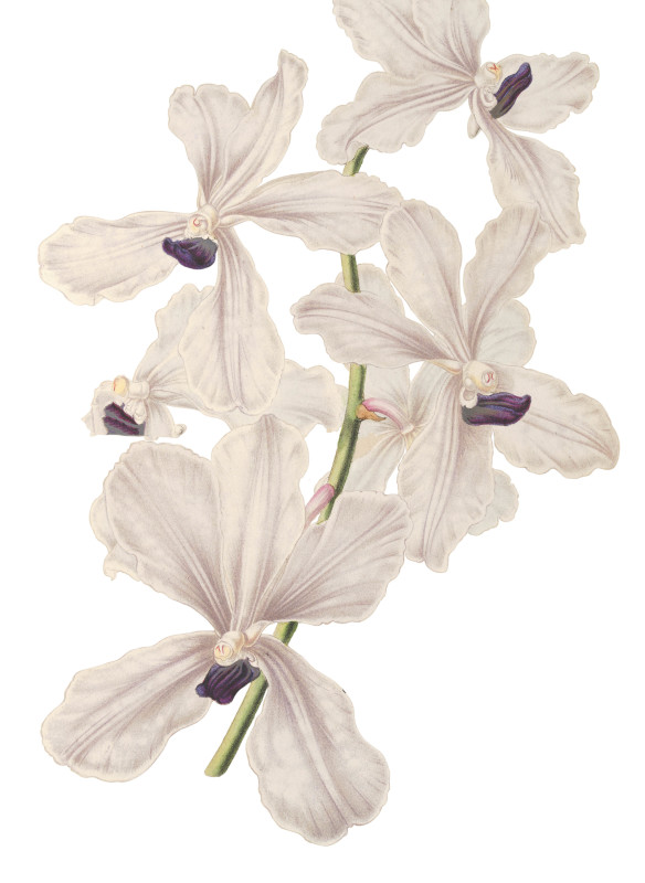 Orchideen Geschichte Illustration