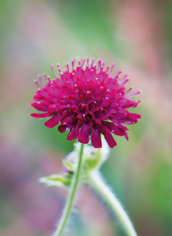 Bild Knautia macedonica Callwey Gartenbuch Blühende Beete
