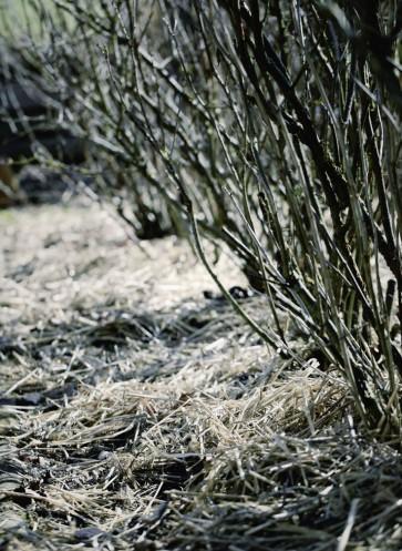 Garten winterfest machen Barbara Bonisolli 100 Rezepte aus meinem Garten gemulchte Johannisbeeren