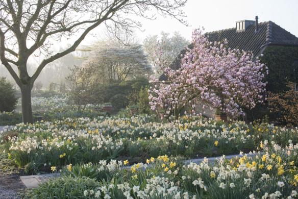 Romantische Gartenreisen in Deutschland Privatgarten Lucenz-Bender FrüŸhlingsgarten mit Narzissen und Magnolia soulangiana