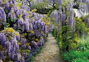 Im Mai ist die 80 Jahre alte Glyzine mit ihrem duftenden Vorhang aus blauen Blütentrauben ein beliebtes Fotomotiv.