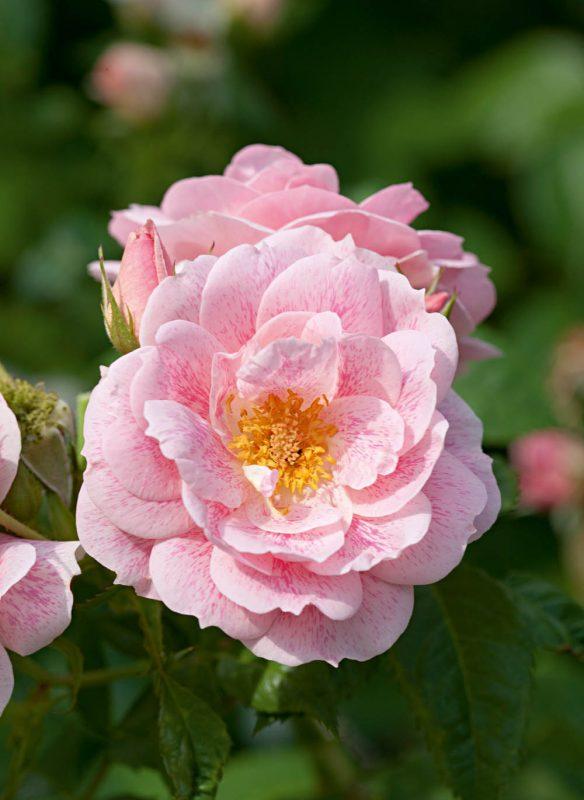 Kir Royal Blüte