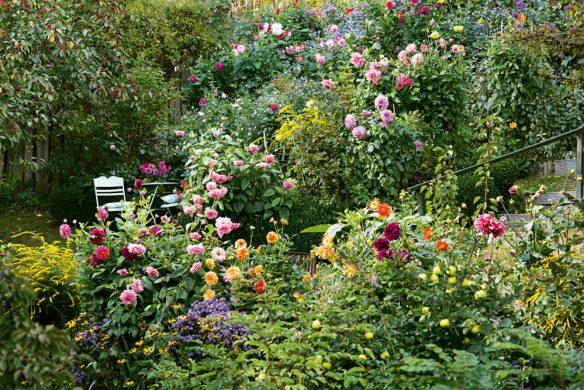 Dahlien am Hang im Garten