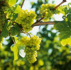Weisser Burgunder: Trauben an der Rebe (Südpfalz)