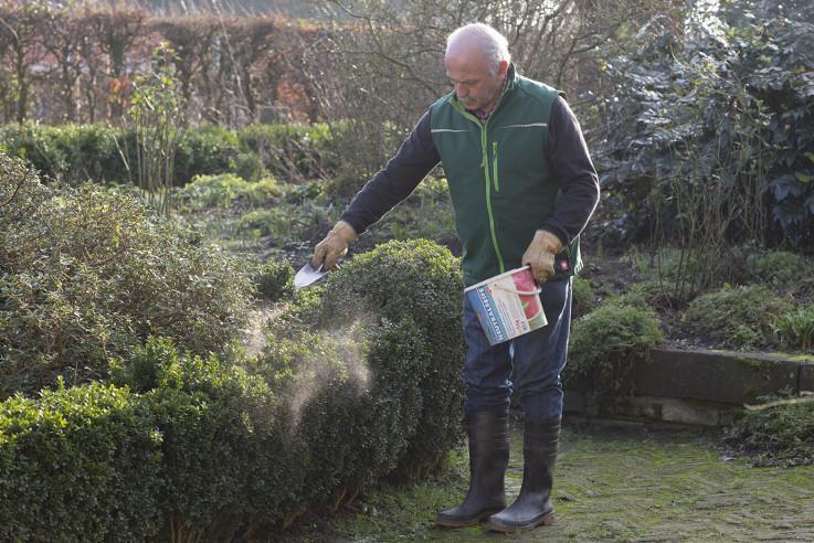 Einstäuben von Buchsbaum mit Algenkalk-Pulver
