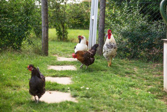 vom glück mit hühnern zu leben_katharinadeganay