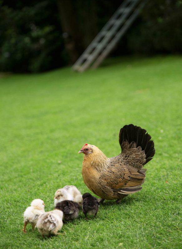 vom glück mit hühnern zu leben_suzannequante2
