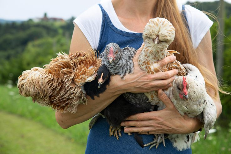 callwey-hühner-glück