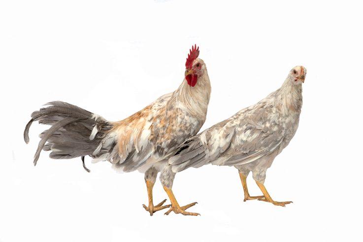 callwey-hühner-lookbook-italiener-perfall