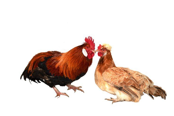 callwey-hühner-lookbook-sulmtaler-perfall