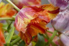 callwey-romantische gartenreisen niederlande und belgien-tulpe