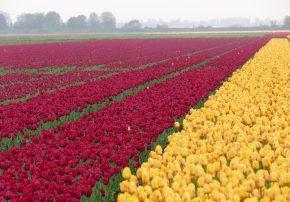 callwey-romantische gartenreisen niederlande und belgien-tulpenfeld