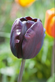 Portrait Tulpe, Tulipa Queen of Night