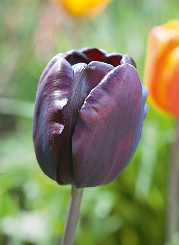 Portrait Tulpe, Tulipa Queen of Night