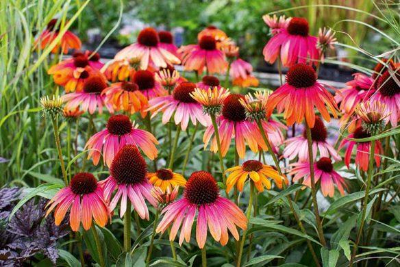 Echinacea 'Rainbow Marcella'