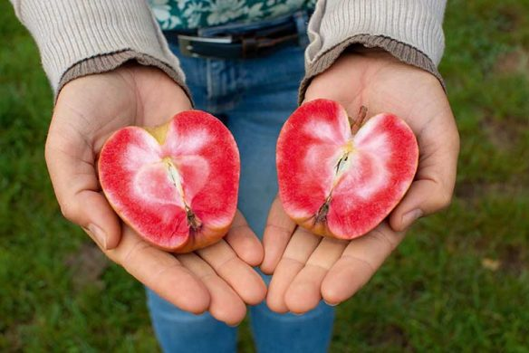 Rotfleischiger Apfel 'Krasny Standard'