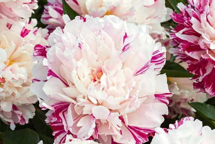 Paeonia 'Candy Stripe' – Gestreifte  Staudenpfingstrose