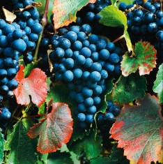 Malbec-Weintrauben an der Rebe, Marlborough, Neuseeland